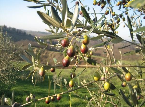 olive e panorama